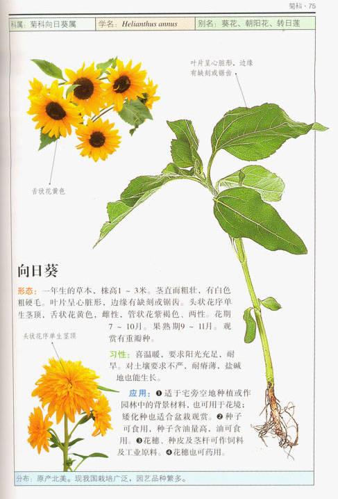 硬笔画花朵